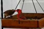 Dad cardinal feeds his daughter a seed from the feeder.