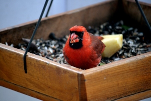 January - Cardinal eats seeds from feeder.