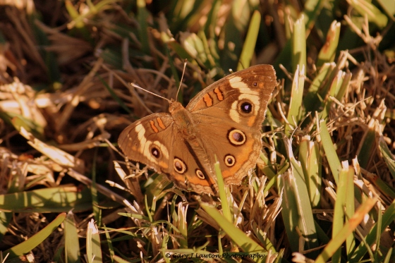 Eye spots on the common buckeye deceive enemies.