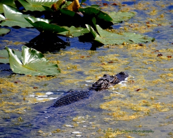 August - Gator basks in Florida sun.