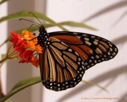 September - Monarch butterfly sips nectar from milkweed.
