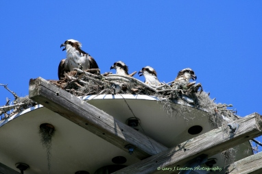 April - Young Osprey await the arrival of fish caught by mom and dad on the Crystal River, Florida.