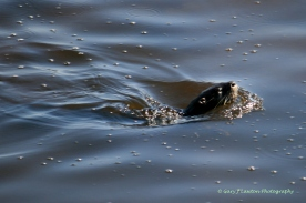 November - Otter swims in Lake Tsala Apopka in Florida.