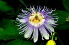 June - Passion flower looks like a lion's head.