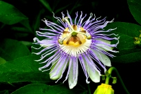 June - Passion flower looks like a lion's head.