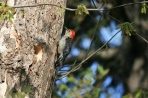 May - Red-bellied woodpecker calls to attract a female to his pad.