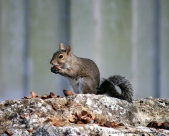 December - Squirrel feasts on hickory nuts.