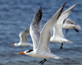 Royal Tern taking flight.