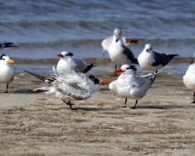 Royal tern juvenile begs for food.