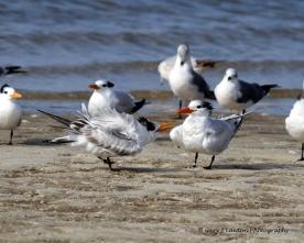Royal tern juvenile begs for food.
