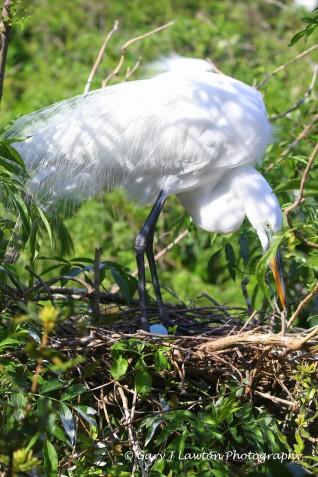 Egret examines its egg.