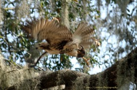 Hawk flies off with its catch.
