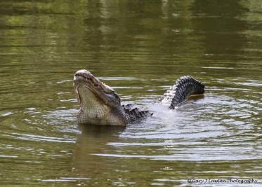 Alligator Arching