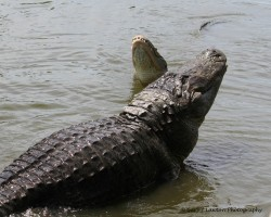 Alligator Face-off
