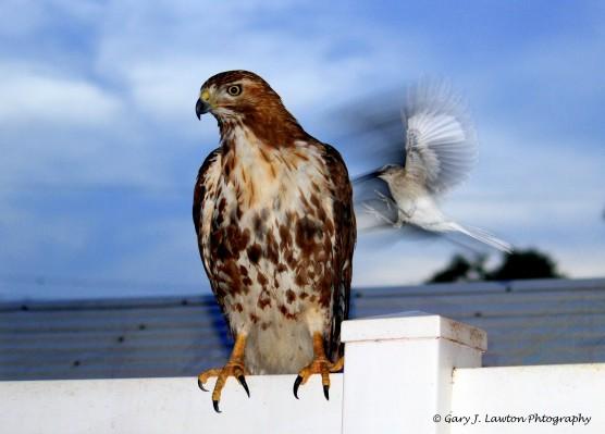 Attack og the Mockingbird!