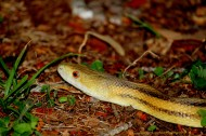 Yellow Rat Snake Head
