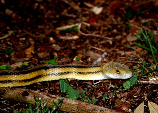 Yellow Rat Snake