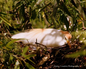 Cattle egret still incubating late May.