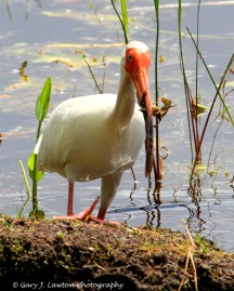 Ibis With Crayfish