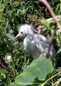 Egret Fledge
