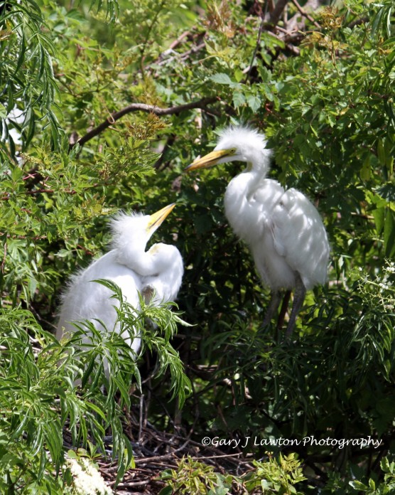 Two Egret Fledglings