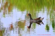 Common Gallinnule Swimming