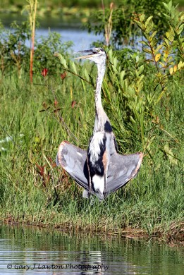Heron Held Wings Out to Capture the Cool Breeze