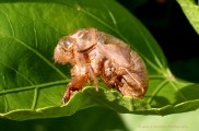 This is the exoskeleton of the nymph left behind when the adult cicada emerges.