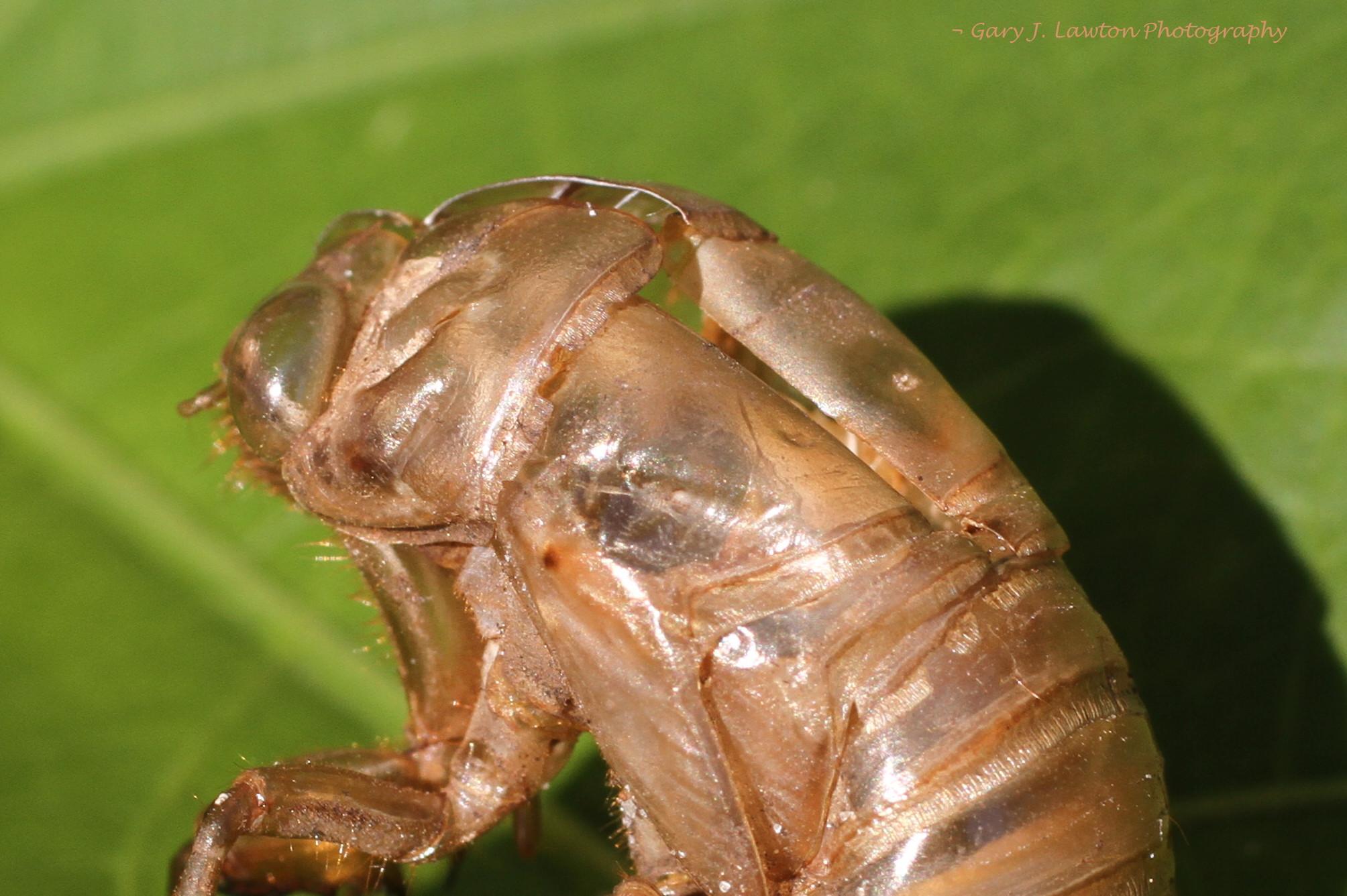cicada nymph - photo #17