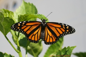 Monarch Mimics Viceroy