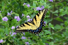 Tiger Swallowtail with tails nipped off.
