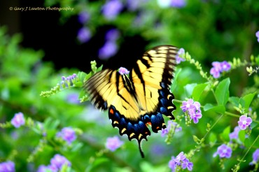 Black stripes on yellow wings confuse predators when it is in flight.