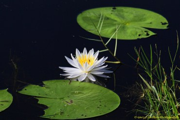 pond llly