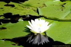 Water Lily and Turtle
