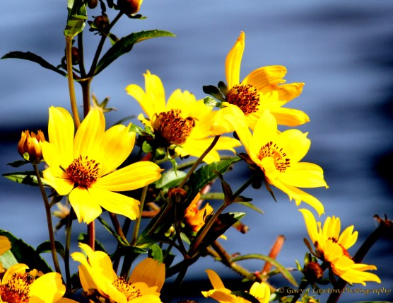 Burr Marigold Bunch
