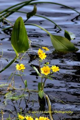 Burr Marigold Habitat