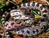 Pine Snake Filter