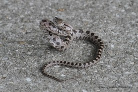Southern Pine Snake Coiled on Sidewalk