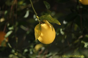Lemon Dangling