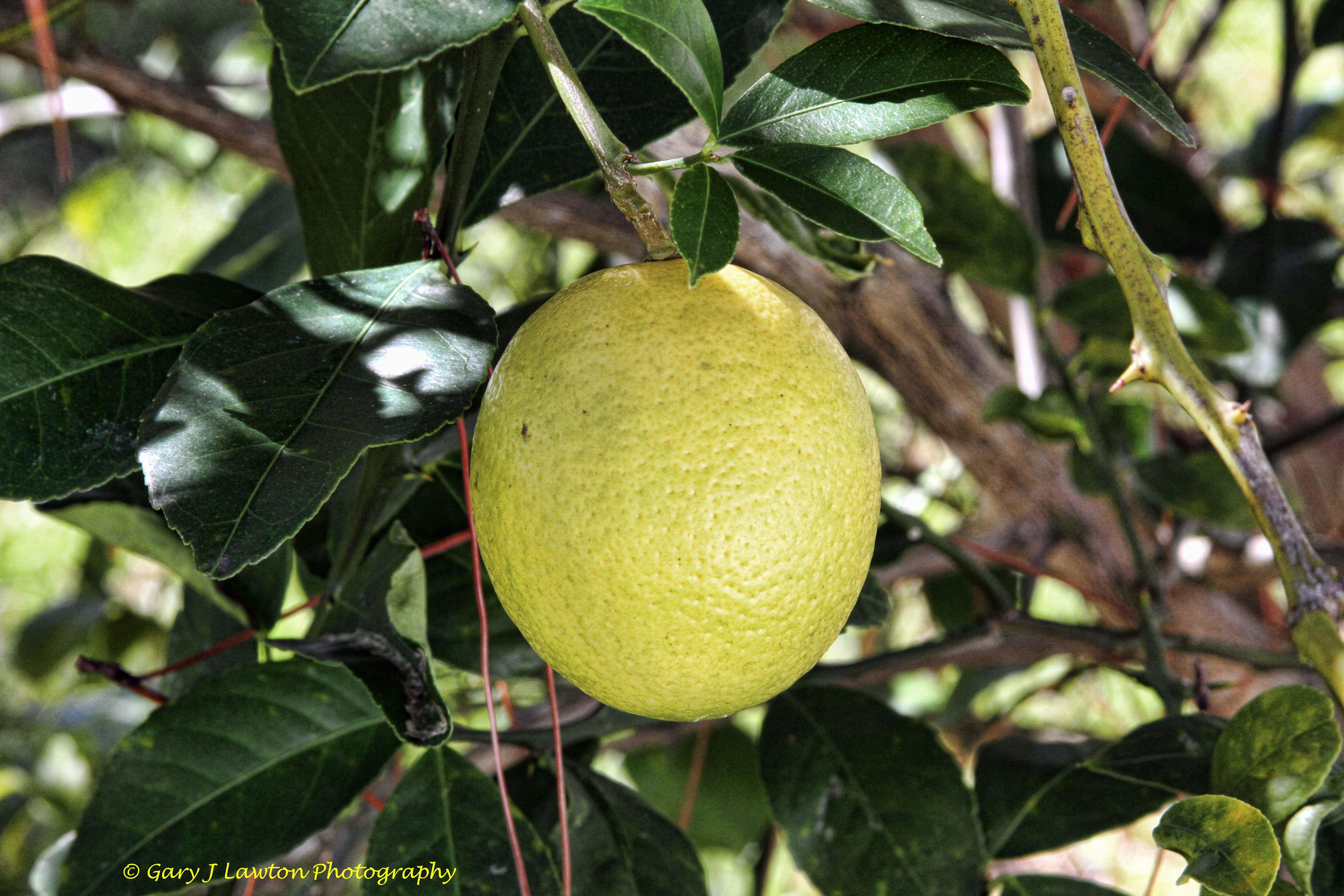 Lemons Ripen In Florida