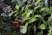 Ressurection Fern