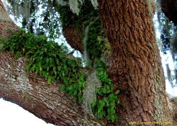 Ressurection Fern on Tree