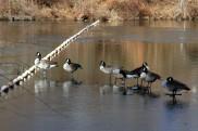 Geese at Dam
