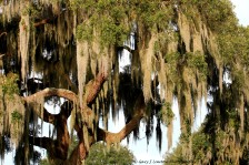 Spanish Moss Beards