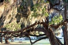 Spanish Moss in Live Oak