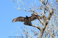 Turkey Vulture Outstretched Wings