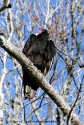 Turkey Vulture Perched