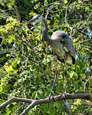 Great Blue Heron in Bush