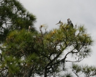 Great Blue Heron Nest 2