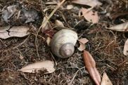 Apple Snail